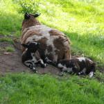 Bed & Bubbels - schapen